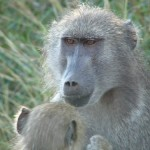 Baboon mommy