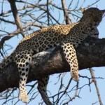 Kruger - Leopard