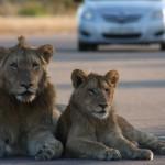 Kruger - Male lions