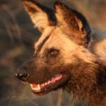 Kruger - Wild dogs
