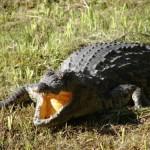 Tanning Croc